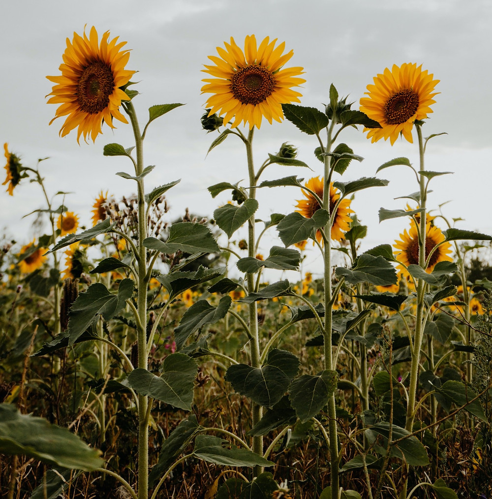 Sunflowers in a field absorb toxic metals in the soil.