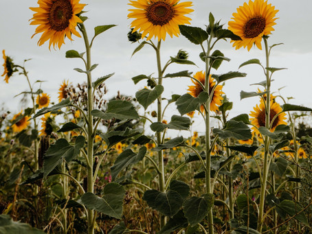 Sunflowers not just a pretty face