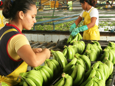 Top Banana - The world's favourite fruit faces its own pandemic
