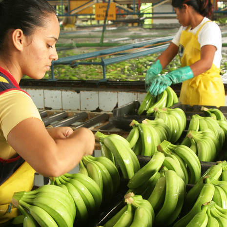 Top Banana: How the world's favourite superfruit is facing a pandemic of its own – again.