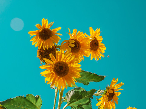 Sunflowers nature's beautiful cleaner