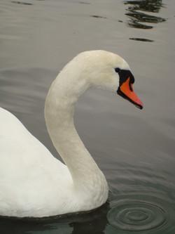 Swan in Hyde Park - 2007