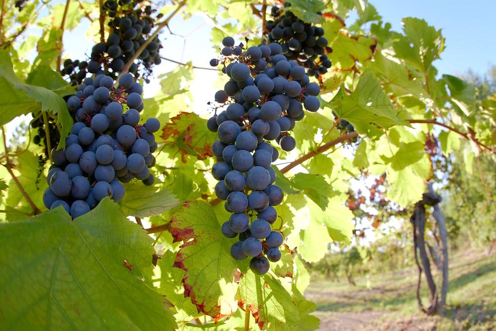 wine, vineyard tour, winery, europe, river cruise