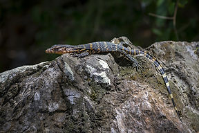 reptile-with-long-tail-laying-rock.jpg