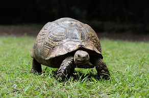 african-spurred-tortoise-grass.jpg