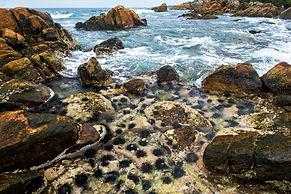 long-spines-sea-urchins-rock.jpg