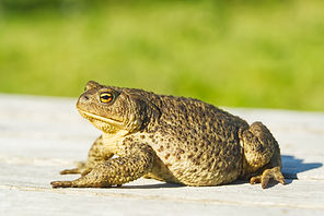 common-toad-sitting-old-wooden-table-buf