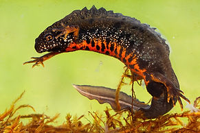male-danube-crested-newt-swimming-underw