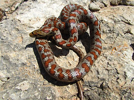 top-view-shot-european-rat-snake-coiled-