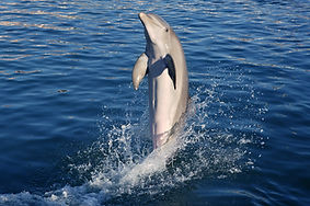 dolphin-doing-acrobatics.jpg