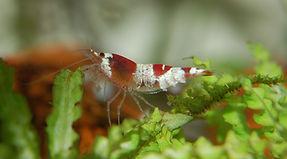 shrimp-2579959_1920.jpg