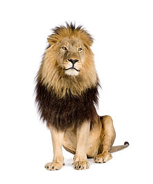lion-panthera-leo-white-isolated.jpg