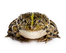 marsh-frog-front-white-background.jpg