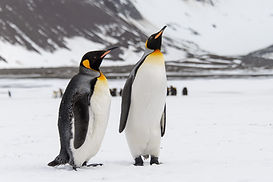 king-penguins-south-georgia-island.jpg