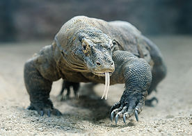komodo-dragon-walks-towards-camera-with-