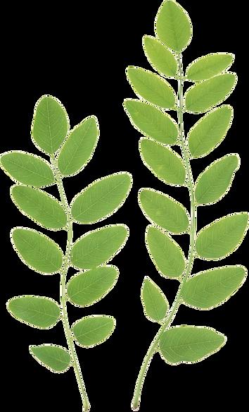 purepng.com-green-leavesleaffoliageautum