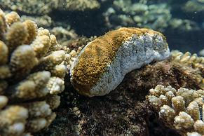 close-up-holothuridea-sea-cucumbers.jpg