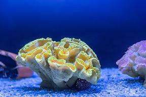 yellow-coral-blue-water-aquarium-close-u