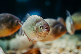 several-piranhas-aquarium-pygocentrus-na