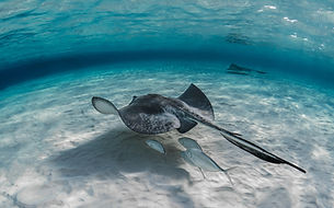 closeup-shot-stingray-fish-swimming-unde