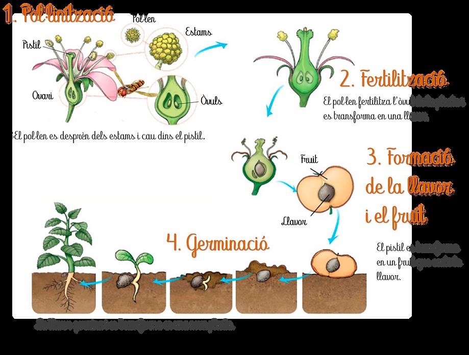 Reproducció_planta.png