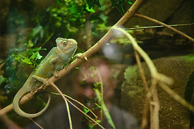 green-chameleon-sitting-tree-branch-zoo.