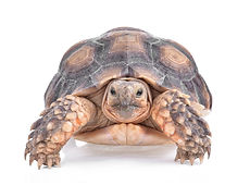 turtle-isolated-white-background.jpg