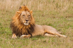 shallow-focus-shot-of-male-lion-resting-