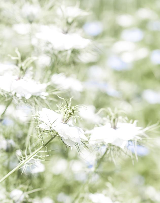 shaws flower