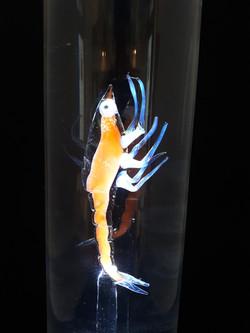 Plancton larve zoé