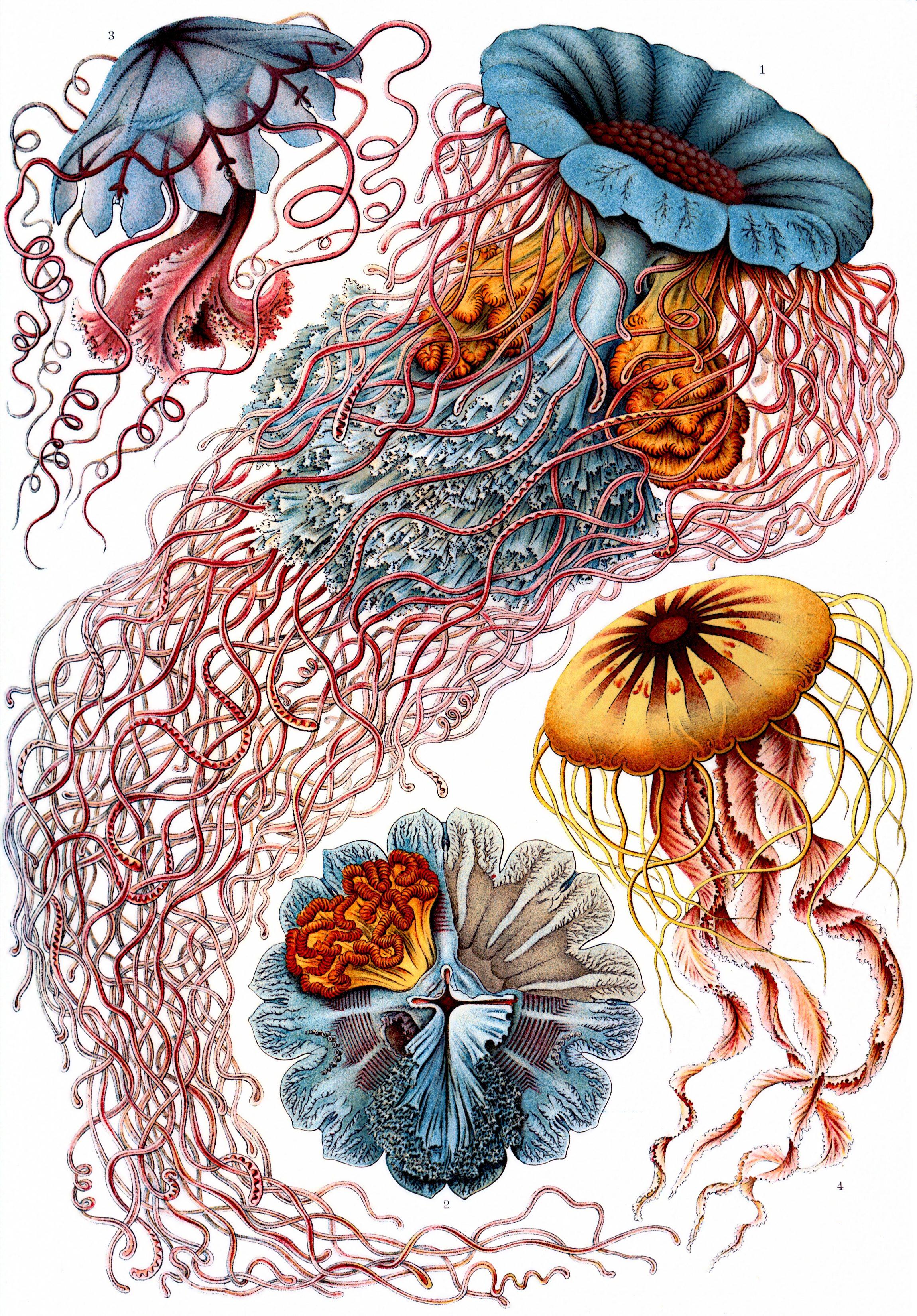 Haeckel Discomedusae