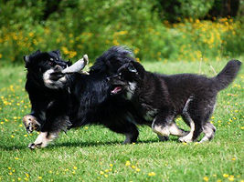 Kennel Hukattu suomenlapinkoira finnish lapponian dog