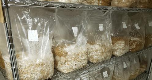 Grain Spawn - 6 lb - bulk (x10)