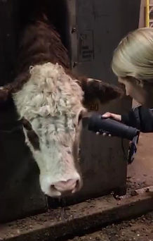 Retinal imaging cattle