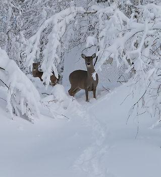 deer_edited.jpg