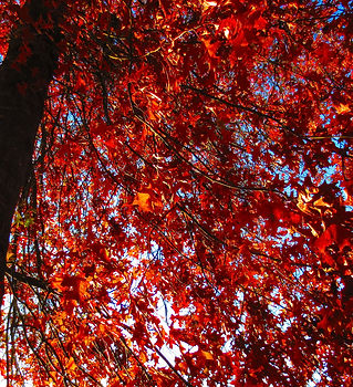 low-angle-shot-red-autumn-leaves-tree.jp
