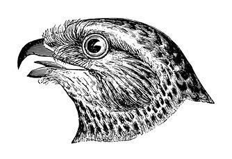 Falcon Sketch