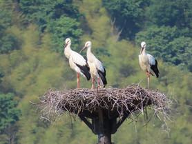 豊岡市赤石人工巣塔でJ0335♀とJ0337♀が巣立ちました。