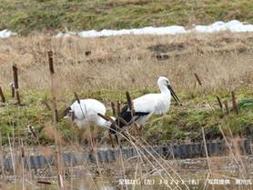 野生個体は河北潟で確認されました。
