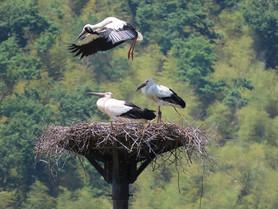 5月25日までに、23羽のヒナに足環が付けられました。