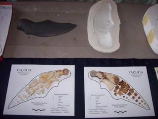 Aletas pectorales de una Vaquita (marina)