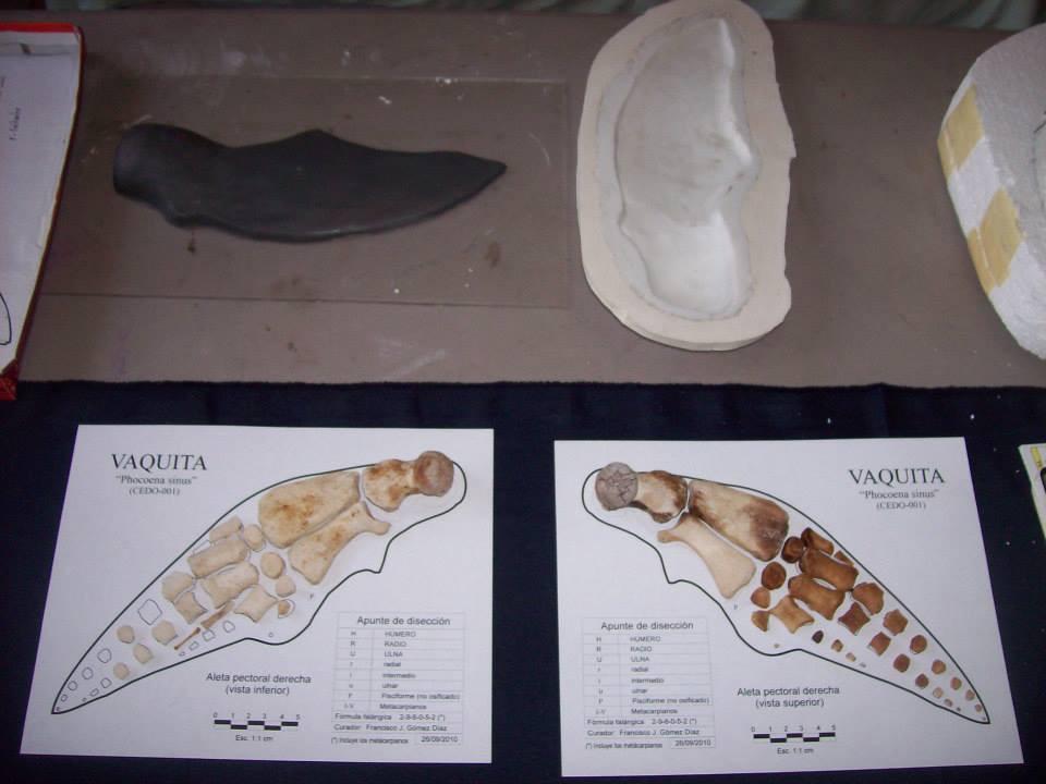 """Hace algunos años, el Museo de la Ballena tuvo la oportunidad de realizar el proceso de curado y montaje de un esqueleto de """"Phocoena sinus"""", este es el nombre científico de la Vaquita, (un pequeño cetáceo odontoceto endémico del Alto Golfo de California). Dentro de las características osteológicas propias de esta especie, se puede observar una condición de polidactilia asociada a una posible causa genética de relacionada con la endogamia y que se manifiesta como el crecimiento de un """"sexto digito"""". En la imagen de la izquierda se pueden observar dos pequeños, delgados y a la vez alargados falanges, que se diferencian del resto."""