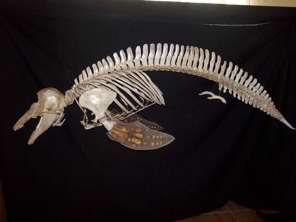 Esqueleto de una Vaquita, curador: Francisco Gómez