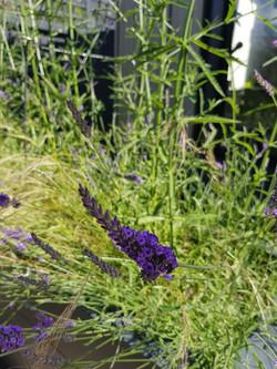urban garden lavender detail