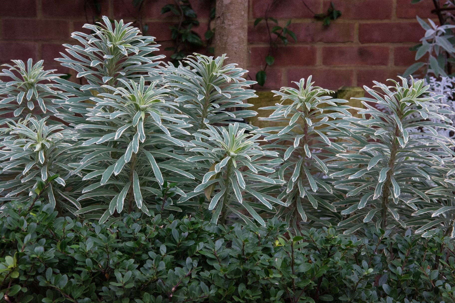 Euphorbia and formal hedge