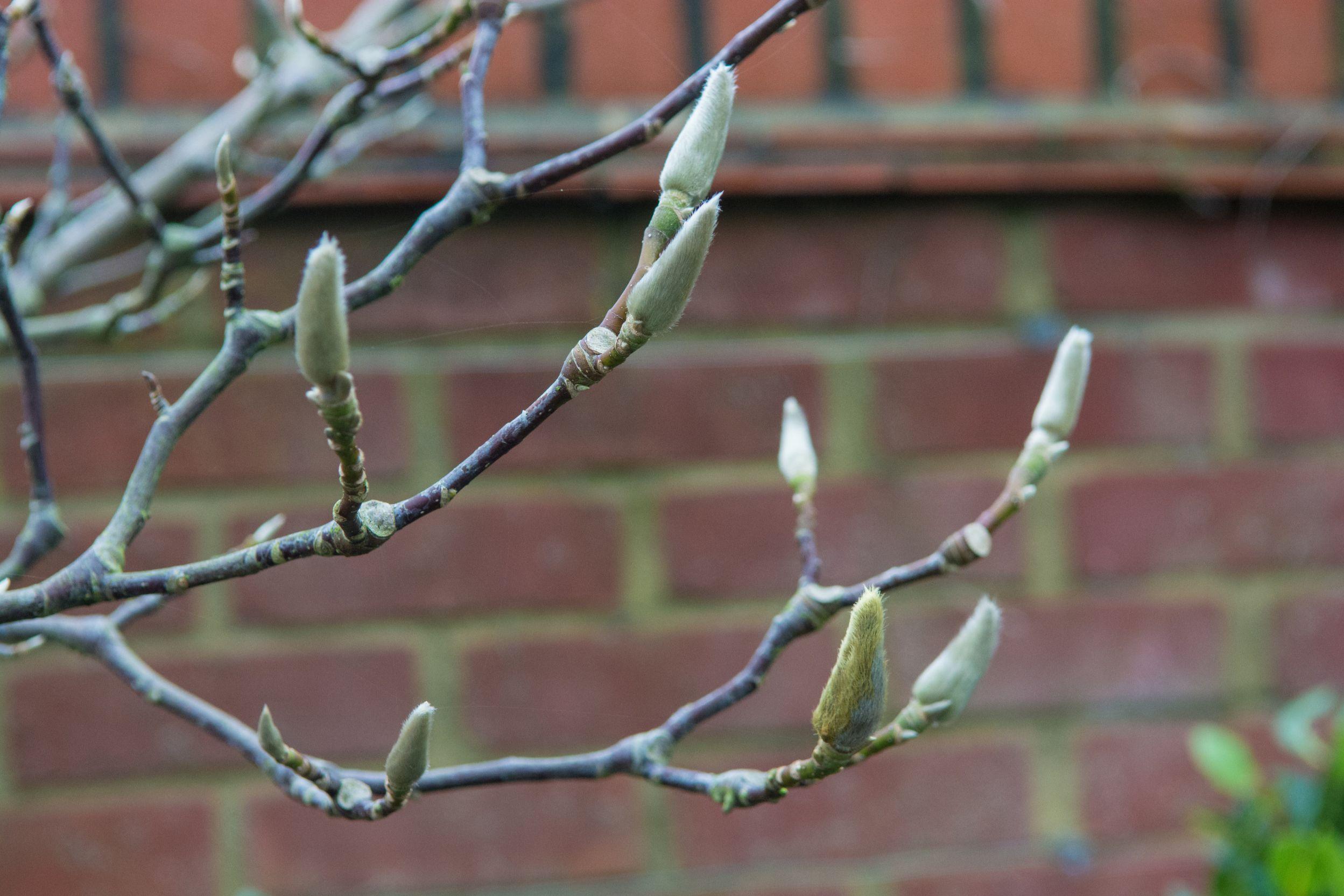 Magnolia in Winter