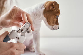 owner-cuts-nails-jack-russel-terrier-pup