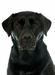 female-black-labrador-retriever_87557-53
