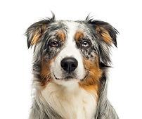 close-up-wall-eyed-australian-shepherd-l