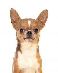 funny-brown-chihuahua-with-big-ears_5840
